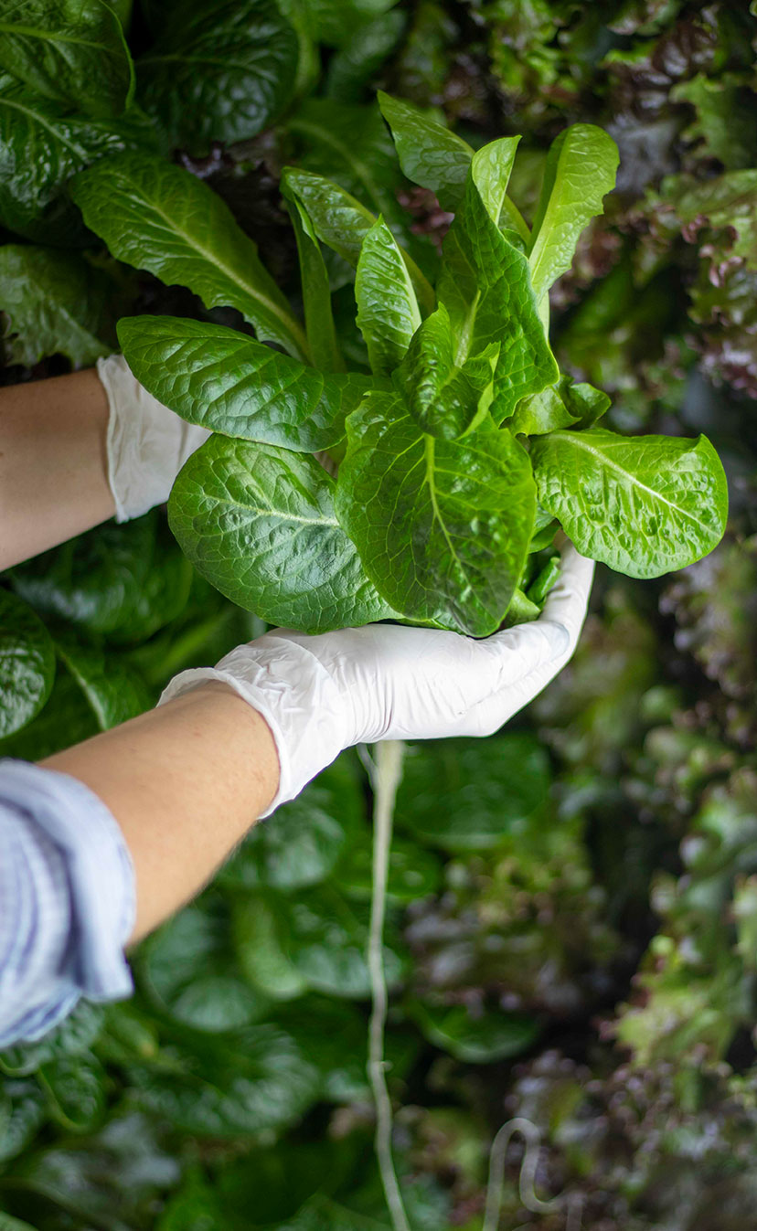 Volunteer picking fresh produce